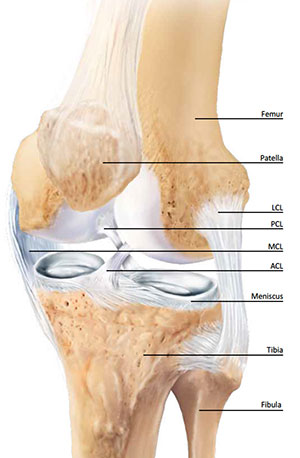 Understanding your knee anatomy walk without pain knee anatomy ccuart Choice Image